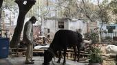 I templet Shri Ram Hanuman Vatikas hjem for hjemløse køer i Delhi bor der for tiden 60 køer. Disse hjem – såkaldte goshala – er kendt helt tilbage til starten af 1800-tallet.