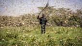 En kenyansk landmand forsøger at jage græshopper væk. I dag er det østlige Afrika plaget af græshoppesværme så voldsomme, at man ikke har set lige i 50 år.