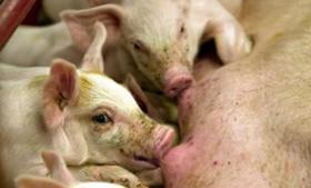 Ny kendelse fra Østre Landsret om aktindsigt i papirer om MRSA-inficerede svinebesætninger går lodret imod Folketingets Ombudsmands vurdering af sagen. Juridisk ekspert finder det stærkt problematisk, at Landbrug & Fødevarer har formået at hemmeligholde oplysninger om smittede besætninger