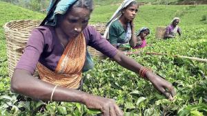Ansatte på Fairtrade-certificerede teplantager i Kenya og Indien har svært ved at se, hvad de får ud af ordningen, skriver The Times