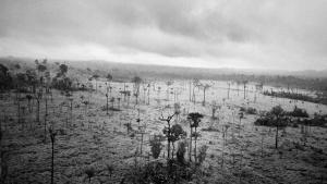 Brasiliens Amazonas-regnskov, det mest mangfoldige økosystem på jorden, skrumper med titusindvis af kvadratkilometer hvert år. Op mod 60-70 procent af skovrydningen sker, når kvægbønder ofte illegalt fælder, brænder og bulldozer træer for at skabe græsningsarealer til landets voksende kvægindustri. Foto: Kadir van Lohuitzen