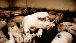 Hvis vi lægger kosten om, sparer vi dyrkningsarealer, der normalt går til at producere mad til køer og grise. Det sparede foderareal kan brødføde mange af Jordens sultne munde og sparer drikkevand, alt imens færre husdyr nedsætter brugen af antibiotika i staldene og bremser fremavl af resistente bakterier.
