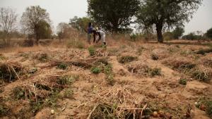 I det nordlige Ghana ved grænsen til Burkina Faso – Upper East Region kaldes området – produceres der tomater. Da Prince Bony stadig boede og arbejdede her, var 'markedet' blomstrende, som han siger. I dag er både afkast og efterspørgsel svundet betydeligt.