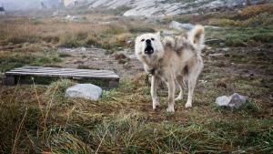 Kun lige akkurat overgår menneskene slædehundene i antal i Ilulissat. Om sommeren er stemningen afslappet og imødekommende, men når lyset forsvinder og vintermørket sætter ind, ændrer stemningen sig