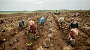 Et stort flertal i Europa-Parlamentet vender sig nu mod industrialiseringen af landbruget i Afrika, fordi det er den helt forkerte vej at gå. Her er det arbejdere i en bananplantage i Mozambique.