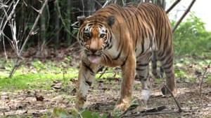De seneste fire år er der observeret en stigning på mere end 30 procent i antallet af vilde tigre i Indien. Det giver håb for overlevelsesmulighederne for andre truede dyrearter