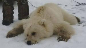 I det nordlige Canada er grizzlybjørne og isbjørne begyndt at krydse hinandens spor