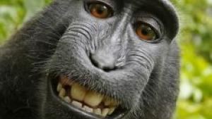 Abe tager foto af sig selv med kamera, der blev opstillet i Indonesisk skov. Fotograf mener, han har ophavsret på fotoet. NGO kæmper abens sag