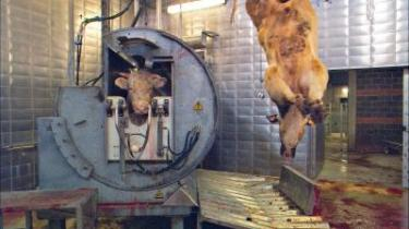 Dyret skal dø. En ko føres ind i en henrettelsesmaskine. Her får den et skud for panden, og den udånder sit sidste muh, mens fortvivlelsen står malet i dens ansigt.