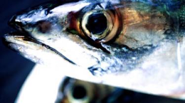 Internationale trawleres rovfiskeri langs Afrikas kyster smadrer de lokale økonomier og det lokale fiskeri. En stor del foregår under EU-flag