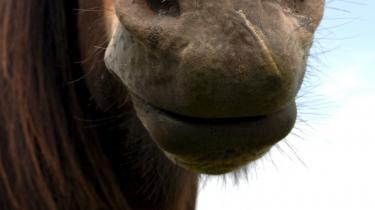 CO2-svag. Tilhængere og kritikere diskuterer hestens miljøeffekter. Men noget stort CO2-svin er den ikke.