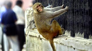 Der hænger hellige aber på lur overalt i den indiske hovedstad, New Delhi. Aberne vurderes at være ansvarlige for omkring 2.000 angreb på mennesker om året.