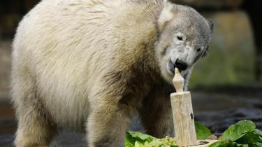 Knut havde et års fødselsdag i sidste måned og har udviklet sig til en stærkt overvægtig teenager på mere end 100 kilo.