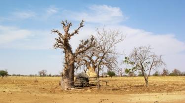 Baobabtræ i landsbyen Kolangal i det østlige Burkina Faso. Frugter og blade fra baobabtræet er en vigtig kilde til vitaminer, mineraler og proteiner for vestafrikanerne, men der bliver færre og færre af dem på grund af tørke og mere intensiv dyrkning af landbrugsarealerne. Baobabtræet er et af de frugttræer, som danske og afrikanske forskere satser på at hjælpe beboerne til at få flere af i nogle af verdens fattigste områder i Vestafrika.