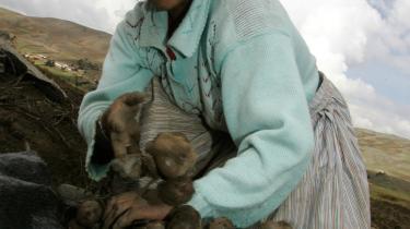 Kan kartoflen redde fødevarekrisen? I Peru, hvor kartoflen for første gang blev dyrket, har en fordobling af hvedeprisen inden for det forløbne år fået regeringen til at iværksætte et program, der skal anspore bagere til at bruge kartoffelmel frem for hvedemel i deres brødfremstilling.