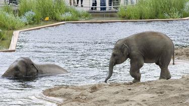 Elefanterne i Zoologisk Have i København nyder badeforholdende ved deres nybyggede elefanthus.