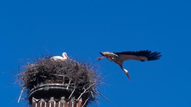 Under sit besøg på den blå planet kan englen Gabriel ved selvsyn konstatere at storkene er vendt tilbage til Ribe.