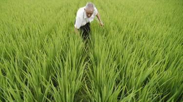 Fødevareprisernes drastiske stigning skyldes i høj grad finansiel spekulation. Her tilser en kinesisk bonde sit korn.