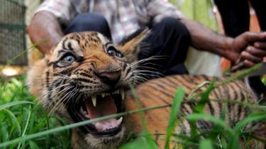 Den truede, indiske tiger burde opdrættes i farme i stedet for i nationalparkerne, da millioner af indiske stammefolk bøder for tigerens bevarelse i nationalparkerne.