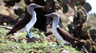 X-factor? Galapagos-skarven med de stumpede vinger har valgt at være anderledes. Den kan ikke flyve, men ad åre er den blevet en strømlinet svømmer, der fanger sin føde under vand.