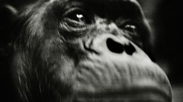 Abemand. Darwin kommer i ny bog til at fremstå som en eksemplarisk humanist, der kæmpede imod den udbredte racisme i sin samtid. Men reelt anså han de -letsindede snakkesalige negre- for at være tættere på abestadiet end europæerne. Og det er netop en logisk konsekvens af den monogenistiske evolutionsteori: at det hvide menneske må være i familie med forstadier til sig selv. Arkiv