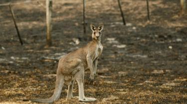 En kænguru, der havde søgt tilflugt i et hus i en forstad til Canberra, blev håndfast sendt tilbage til den skov, den kom fra. Arkiv