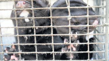 Anima er en dansk forening, der arbejder for dyrs rettigheder. I sidste måned brød de ind på 34 farme for at dokumentere mishandling af mink. Optagelserne blev sendt på TV2 i går, og pelsavlerne kalder udsendelsen manipuleret