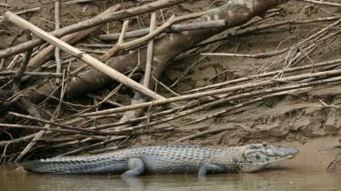 En kaiman er et almindeligt syn i Amazon-junglen, der er rig på særpræget natur. Her er mere end 1000 slags fugle og knap 100 pattedyr, og stedet har verdensrekord i flora med 15.000 forskellige registrerede plantearter.