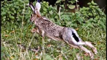 Haren er en truet art: Danmarks Miljøundersøgelser (DMU) vurderer, at haren har oplevet en tilbagegang på 30 pct. i løbet af de sidste 10 år.