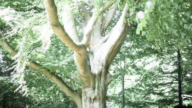 Grav. Det var Karen Blixens eget ønske at blive begravet under et stort træ, ligesom kikuyuernes helligsteder i Afrika også ligger under store træer.