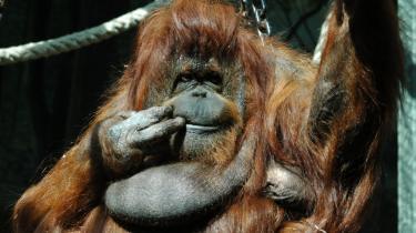 Det gådefulde er et vigtigt element i den franske dokumentarist Nicolas Philiberts film om orangu-tangen Nénette. Han skildrer den væsentlige del af vores fascination af dyr, der er baseret på, at vi læser menneskelige følelser, egenskaber og motiver ind i deres karakter og adfærd.