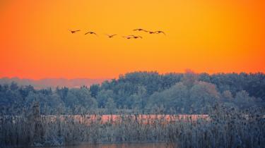 Danmarks Naturfrednings-forening frygter, at opsplitningen af Danmarks Miljøundersøgelse vil gå ud over den danske natur. På billedet ses en flok svaner over Silkeborg-søerne