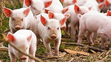 Her på vores egn af verden er grisetæer ved at være en sjældenhed, men hvis du er på en diæt af protein og fedt, så er der ikke noget mere oplagt end grisetæer.