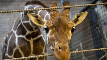 Sagen om girafungen Marius er et eksempel på, hvad der sker, når et dyr fra zoologisk have pludselig tildeles et kæledyrs egenskaber.