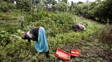 FN mener, at i det lange globale perspektiv er omlægning til økologisk landbrug den eneste bæredygtige vej for kloden. Ugandiske kvinder høster økologiske grøntsager i Fort Portal, som de sælger på det lokale marked.