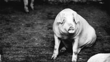 Tal fra Fødevarestyrelsen viser, at zinkoxidforbruget i dansk landbrug er steget med 8,4 pct. pr. produceret gris de seneste fem år.