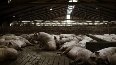Danmark er blevet en svinefabrik, uden at produktionen bidrager til vores egen økonomiske udvikling og beskæftigelse
