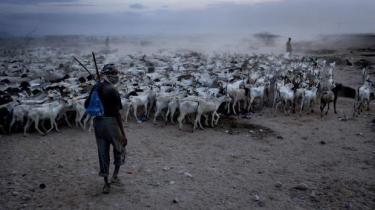 Kvæg flyttes rundt og gøres klar til transport. Selv om det afrikanske landbrug er centralt for kontinentets økonomiske fremtid, har de unge vendt det ryggen og er taget mod byerne.