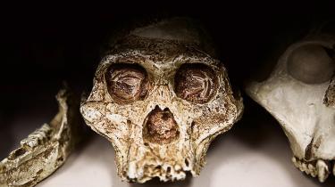 Menneskearten Homo naledi. Her ses en hel underkæbe med tænder og dele af kraniet.