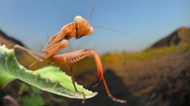 Ny forskning ser ud til at aflive den hævdvundne antagelse, at insekter ikke kan føle hverken smerte eller velvære – bør det få konsekvenser i forhold til dyrevelfærd?