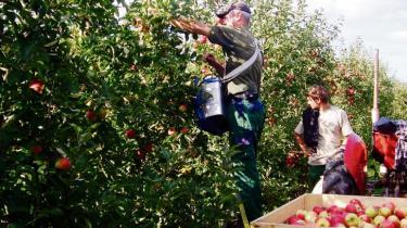Det er ikke forbudt at forurene økologiske æbler og pærer med sprøjtegift fra luften. Men frugterne forbydes, hvis det sker, og den økologiske avler må bære tabet. Situationen er utålelig, siger en af dem, der er ramt