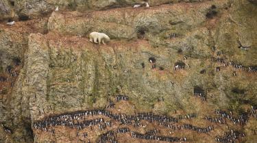 Det her er ikke normal isbjørneadfærd. Klimaforandringerne har skabt mangel på den havis, somisbjørnen har brug for, for at kunnejage sæler.Men havisen er smeltet, så isbjørnen her jager nu fugle på enklippeafsats.