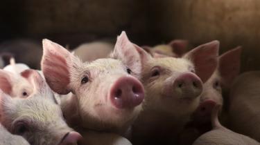 Danmark er Europas største eksportør af levende svin – og dermed også 'logisk set' den største eksportør af MRSA, da mange danske svin er smittet med den antibiotikaresistente bakterie.