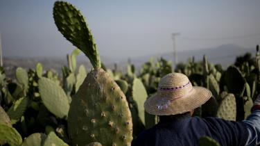 Den tørkeresistente Nopalkaktus dyrkes intenst i det centrale Mexico,hvor den er en meget brugt grønsag i det lokale køkken.
