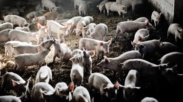 88 pct. af de danske svinebesætninger er inficeret med MRSA ifølge Fødevarestyrelsens seneste opgørelse. I Norge er kun 0,5 pct. inficeret.