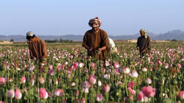 Opiumsbønder iKandahar-provinsen.
