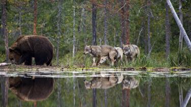 Ulve bliver betraget som økosystemingeniører. Da gråulven blev sat tilbage iYellowstone National Park i 1995, satte den gang i en såkaldt trofisk kaskade, hvor hele fødekæden blev påvirket. Ulvene var skyld i, at kronhjortene ikke altid stod og græssede på de samme steder, men hele tiden bevægede sig rundt i nationalparken. Dermed fik blandt andet pile- og poppeltræer lov til at vokse sig store igen, og med træerne kom fuglene tilbage til de områder, som kronhjortene tidligere havde hærget. Der kom flere bjørne, fordi der var flere træer med bær på, og der kom ikke mindst flere bævere, som er afhængige af piletræerne.