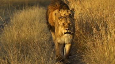 Løven er blandt de dyrearter, som har mistet en stor del af sin udbredelse.