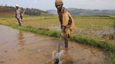 Organisationen Caritas har sat sig for at hjælpe lokale småbønder i Afrika. Her ses arbejdere i en rismark i Congo i et samarbejdsprojekt mellemNGO Cordaid og Caritas.
