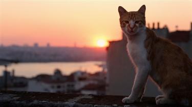 'Kedi' er en film om Istanbuls gadekatte, men også om en brutal byfornyelse.